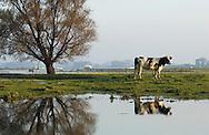 Nederland, omgeving Haaften (Gorinchem) 31 okt 2002.Uiterwaardenlandschap van rivier de Waal. Uiterwaarden zijn beetje ondergelopen. Solitair staande boom, koe..landschap, waterbeheer, waterberging...Foto (c) Michiel Wijnbergh/Hollandse Hoogte