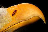 """""""Aquiline nose"""", hooked beak of bald eagle (Haliaeetus leucocephalus) with nostrils. The beak is distinguished by its striking yellow stain, which also includes the featherless area at the base of the beak in the nose area (called skin of wax or nose skin). The yellow stain has probably signal character, in which it displays the sexual maturity to other individuals. Birds have long been considered Mikrosmatiker,  animals whose sense of smell is of minor importance (as opposed to Makrosmatiker ). Also, the olfactory bulb is not very strongly formed. Today it is known that some species, for example Vultures have a keen sense of smell. The knowledge about the smell of birds has been very low. Bird of prey center of Schleswig-Holstein, Daldorf, Germany. / """"Adlernase"""", Hakenschnabel von Weisskopfseeadler (Haliaeetus leucocephalus) mit Nasenoeffnungen. Der Schnabel zeichnet sich durch seine auffallend gelbe Faerbung aus, die auch den ungefiederten Bereich an der Schnabelbasis in der Nasengegend (die sog. Wachshaut oder Nasenhaut) umfasst. Die gelbe Faerbung hat wohl Signalcharakter, in dem sie anderen Individuen die Geschlechtsreife anzeigt. Voegel galten lange Zeit als Mikrosmatiker, also Lebewesen, deren Geruchssinn von eher untergeordneter Bedeutung ist (im Gegensatz zu Makrosmatikern). Auch das Riechhirn ist nicht sehr stark ausgebildet. Heute ist bekannt, dass einige Arten, z.B. Geier, ein ausgepraegtes Geruchsvermoegen besitzen. Das Wissen ueber den Geruchssinn von Voegeln ist bisher sehr gering. Greifvogelzentrum Schleswig-Holstein, Daldorf, Deutschland."""