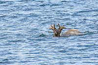 Rocky Mt. Elk [Cervus elaphus] bull elk, spooked by predator, swims out towards center of Yellowstone Lake before tiring and returning to shore; Yellowstone NP., Wyoming