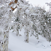 Owen Dudley drops a powder turn beneath the lichen laiden trees of the Cascade backcountry.