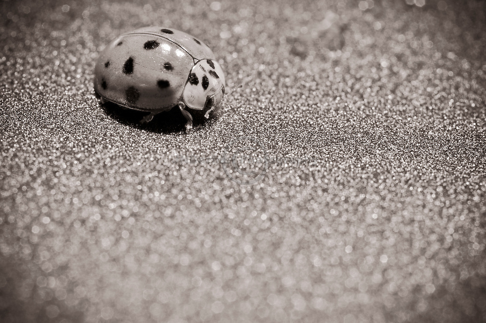 Ladybird (known as Ladybug in North America) from the Coccinellidae family of beetles