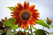 Sunflower; Vacation trip to Monhegan Island