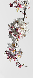 Cassia Bakeriana Pink Shower Wishing Tree#001vert