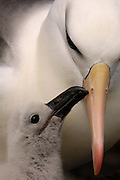 Pete OXFORD, Black-browed Albatross, ENDANGERED,<br /> Julio Zaldumbide 506 y Toledo, Quito, Ecuador, South America.<br /> Tel: 593-2-2226958      Mail: pete@peteoxford.com<br /> <br /> Black-browed Albatross (Thalassarche melanophrys) with chick<br /> Saunders Island. Off north coast of West Falkland. FALKLAND ISLANDS. LISTED AS ENDANGERED