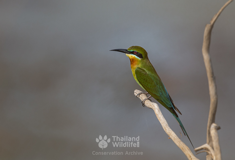 The blue-tailed bee-eater (Merops philippinus) is a near passerine bird in the bee-eater family Meropidae.