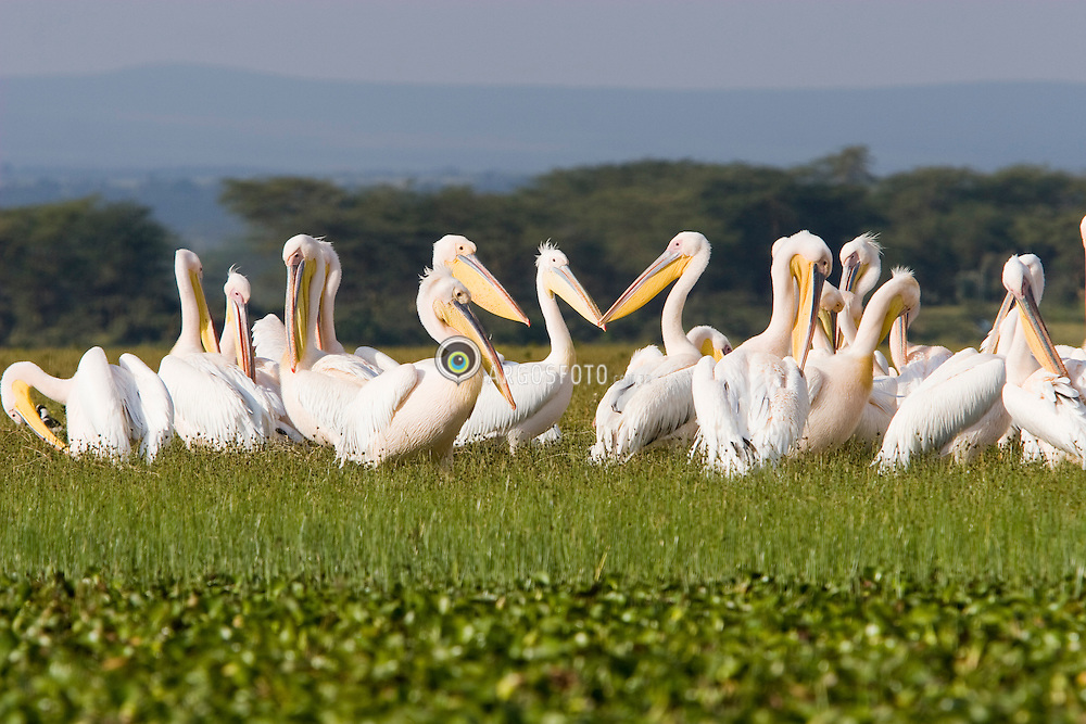 Pelicans on Lake Naivasha, a freshwater lake in Kenya, lying north west of Nairobi, outside the town of Naivasha. It is part of the Great Rift Valley. A pelican is any of several very large water birds with a distinctive pouch under the beak belonging to the bird family Pelecanidae / Pelicanos no Lago Naivasha, no Quenia. O lago abriga enorme variedadede vida selvagem, especialmente aves. O pelicano eh uma ave da ordem dos ciconiiformes, antigamente pelecaniformes, familia Pelecanidae