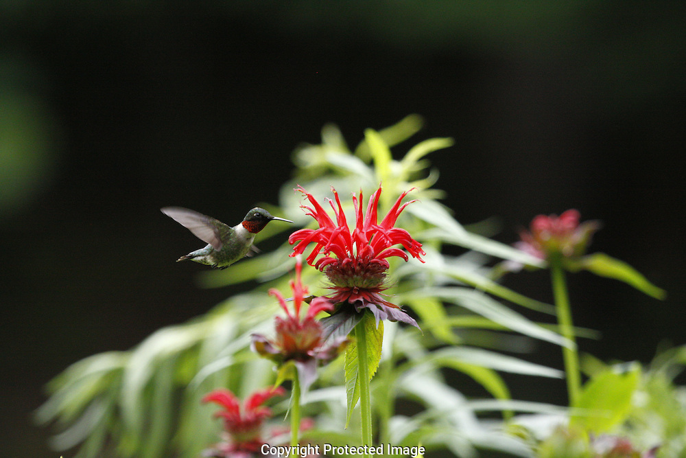 male humming bird,dorset,vt, feeding on beebaum