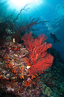 The strong currents in the Misool area create perfect conditions for filter feeders such as soft corals, sponges and fans and many of the dive sites have huge fields of fans and whips.  The reefs of Raja Ampat are some of the most diverse and healthiest in the world.