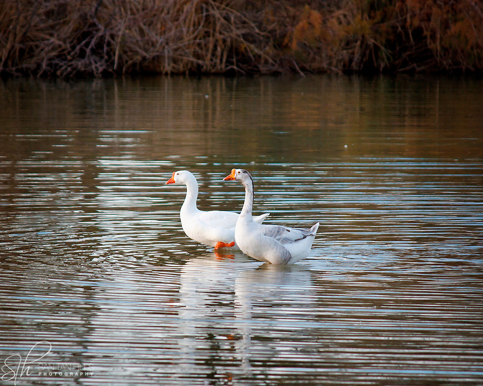 Two geese wading side by side - Riparian Preserve, Gilbert, AZ