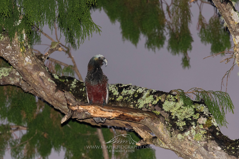 Kaka parrot high up in a tree at twilight, Stewart Island