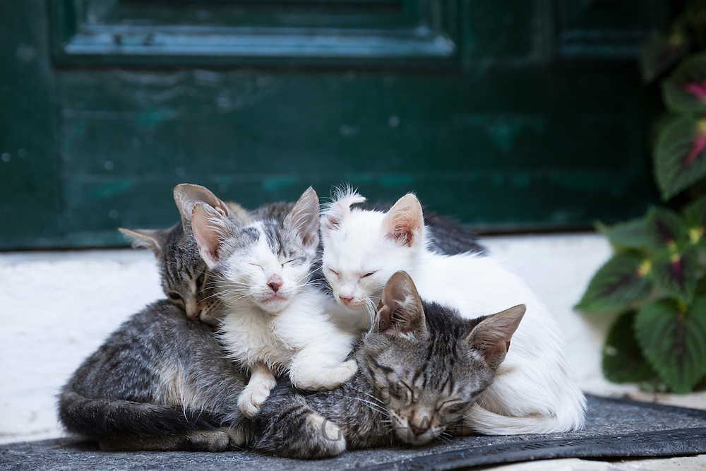 Stray feral mother tabby cat, Felis Catus, with her cute kittens curled up together at Paleokastritsa in Corfu, Greece