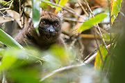 Greater bamboo lemur (Prolemur simus) from Ranomafana National Park, eastern Madagascar.