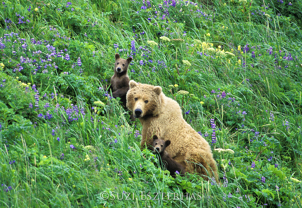 Grizzly Bear <br /> Ursus arctos<br /> 4-6 month old cub (s) with mom in lupine<br /> Katmai National Park