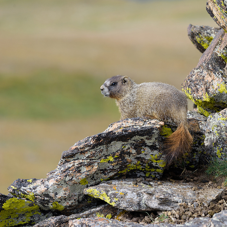 Yellow Bellied Marmot (marmot flaviventris), Rocky Mountain National Park