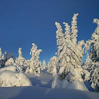 Frozen trees in Ruka, Kuusamo, Finland