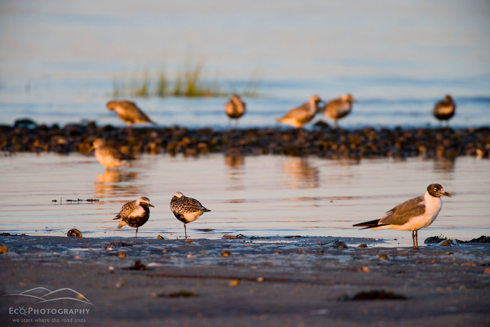 Plovers and gulls on the beach in Old Lyme, Connecticut.  The nature Conservancy's Griswold Point Preserve at the mouth of the Connecticut River.