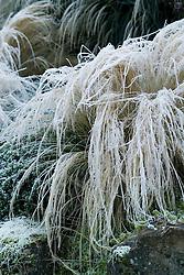 Hoar frost on Stipa tenuissima