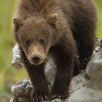 Grizzly bear cub-of-the-year carefully walking on a log in Lake Clark National Park Alaska.