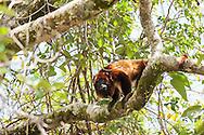 A Guianan red howler monkey (Alouatta macconnelli) along the Rupununi River.