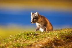 Arctic Fox (Alopex lagopus) in Spitsbergen, Svalbard