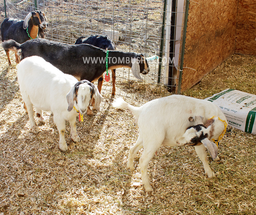 Cornwall - Dairy goats in the barn at Edgwick Farm on Feb. 4, 2012. The farm uses goat milk to make artisan cheeses.