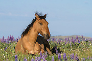 Wild mustang in a field of lupine