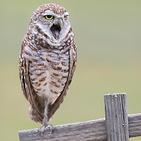 Perched burrowing owl (Athene cunicularia) emits a big yawn. Staying awake all day, digging burrows and entertaining visitors can make an owl very sleepy! Image placed as semifinalist in NANPA 2018 Showcase.