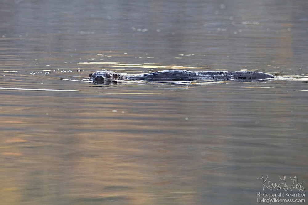 A northern river otter (Lontra canadensis) swims in Scriber Lake in Lynnwood, Washington. Northern river otters can dive to more than 50 feet and swim underwater for several minutes. The aquatic weasel was once common on rivers, lakes and coastal wetlands over much of North America, but is much less common now because of habitat loss.