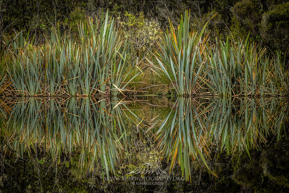 A beautiful reflection of flax, with its rigid leaves fanning out.  Flax are known as harakeke by the Maori, which use the leaves to weave baskets.