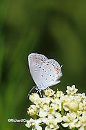 03226-00415 Eastern Tailed-Blue butterfly (Everes comyntas) on Whorled Milkweed (Asclepias verticillata), Sand Prairie-Scrub Oak Nature Preserve, Mason Co. IL