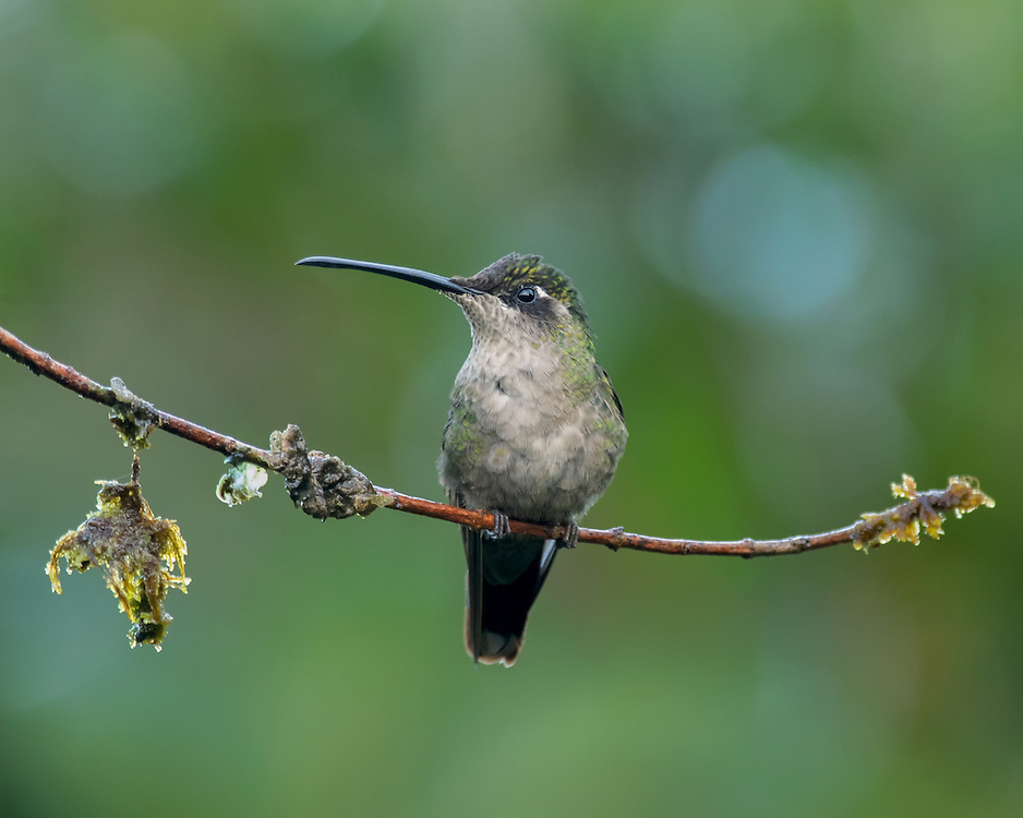 Magnificent hummingbird (Eugenes fulgens), female, Costa Rica