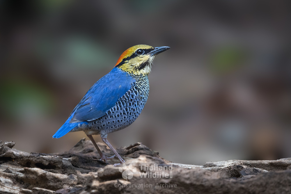 The blue pitta (Hydrornis cyaneus) is a species of bird in the family Pittidae found in Southeast Asia. It is a resident species in Thailand.