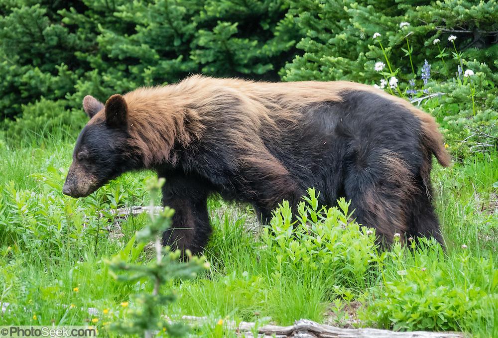 American black bear (Ursus americanus) at Shadow Lake, Mount Rainier National Park, Washington, USA.