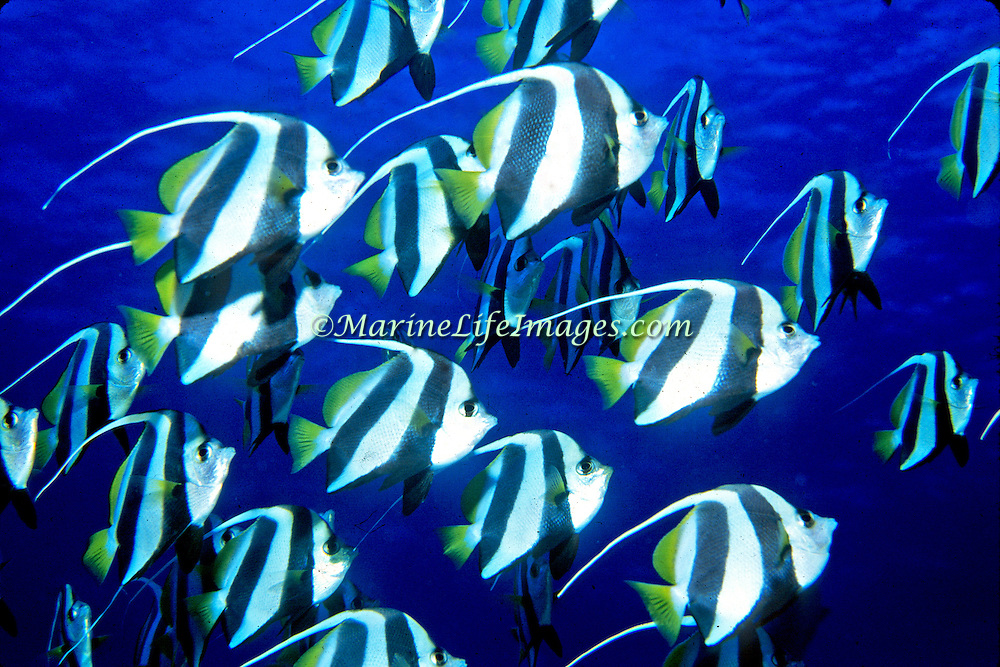 Schooling Bannerfish inhabit open water clustered in large schools. Picture taken Maldives.