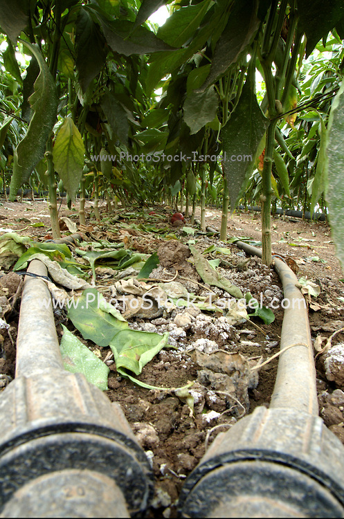 Israel, Jordan Valley, Doshan Farm, Organic Bell Peppers (Capsicum annuum) in a greenhouse. Computerized irrigation system