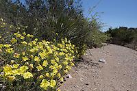 Berlandier's Sundrops or Square-Bud Day Primrose, (Calylophus berlandieri), at Big Bend Ranch State Park, Texas