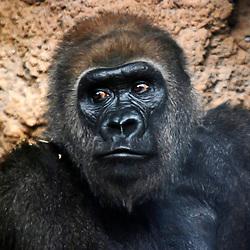 Gorila (Gorilla gorilla gorila). Registro feito em 2009. Animal em Cativeiro.<br /> <br /> <br /> ENGLISH: western lowland gorilla. Picture made in 2009. Captive animal.