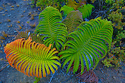 Amau Fern, HVNP, Kialuea Volcano, Big Island of Hawaii