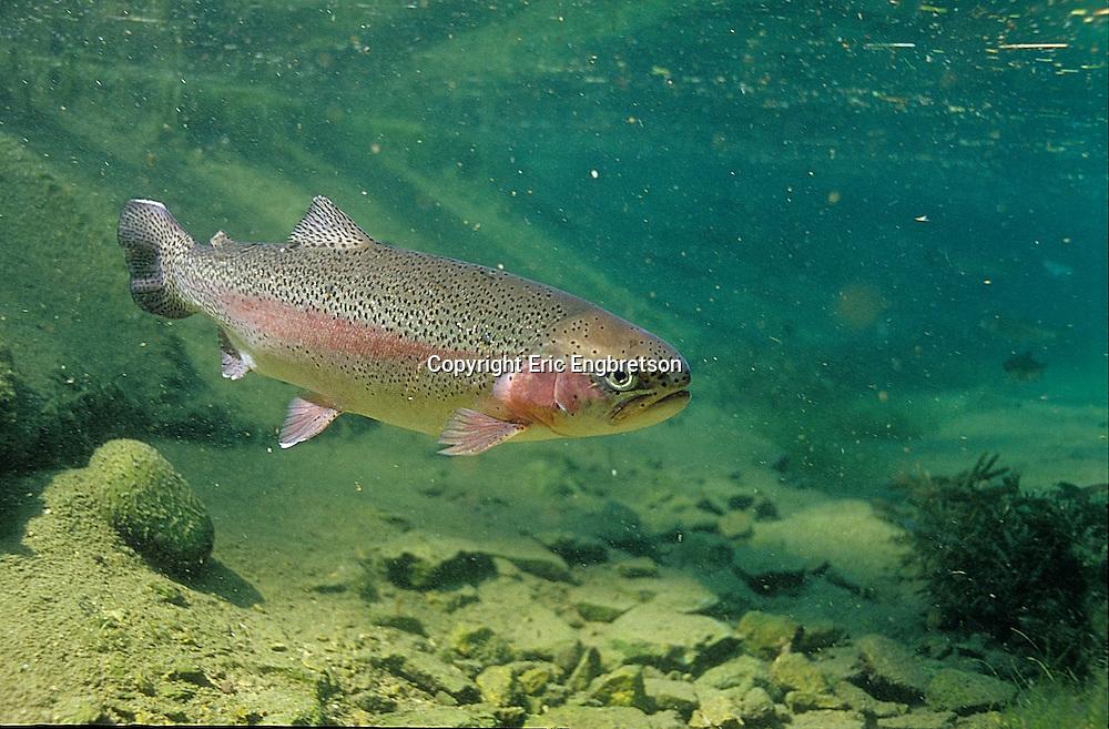 Rainbow Trout<br /> <br /> ENGBRETSON UNDERWATER PHOTO