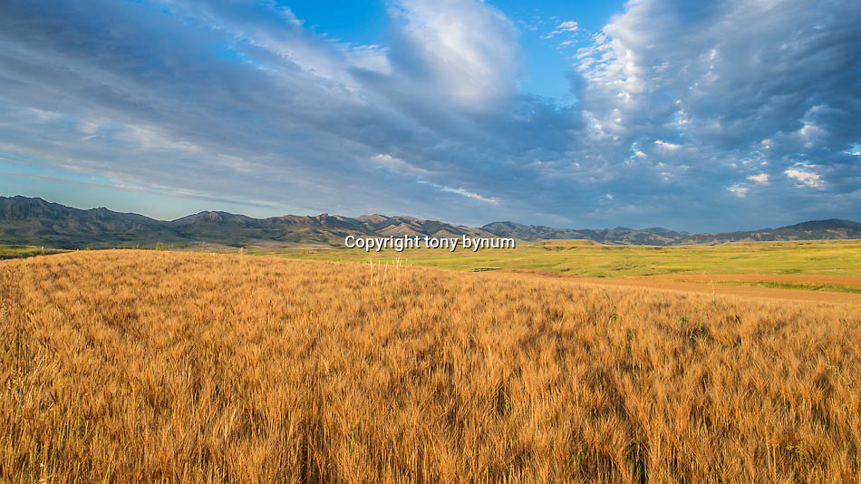 wheat ripening highwood mountains montana conservation photography - montana wild prairie