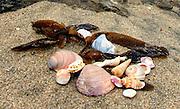 Rose Colored Seashells on the Beach