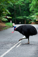 A cassowary crosses the road in the World Heritage Listed Daintree National Park in far north Queensland, Australia. Being hit by cars is one of the biggest causes of death for this endangered flightless bird.