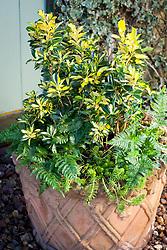 Winter pot combination of Euonymus japonicus Exstase syn. 'Goldbolwi', Dryopteris erythrosora and Sedum rupestre 'Angelina'