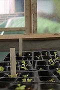 Seedlings in a greenhouse.