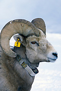 A bighorn sheep (Ovis canadensis canadensis) with a researcher's ear tag and radio collar. Lostine Ridge, Wallowa Mountains, Oregon.