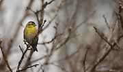 Male Eurasian siskin (Carduelis spinus). The siskin is a type of finch. It breeds in northern Europe, parts of Russia and eastern Asia, and migrates south in the winter. It favours coniferous woodland. The siskin is approximately 12 centimetres in length. Photographed in Israel in March.