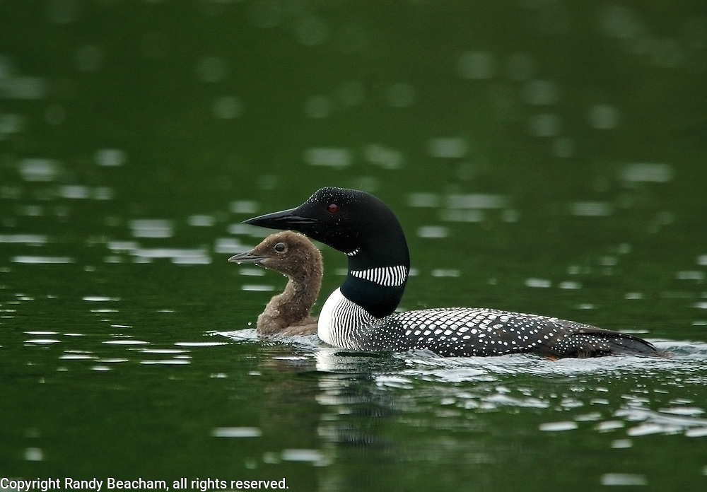 Common loon with chick. Alvord Lake in the Purcell Mountains, Montana