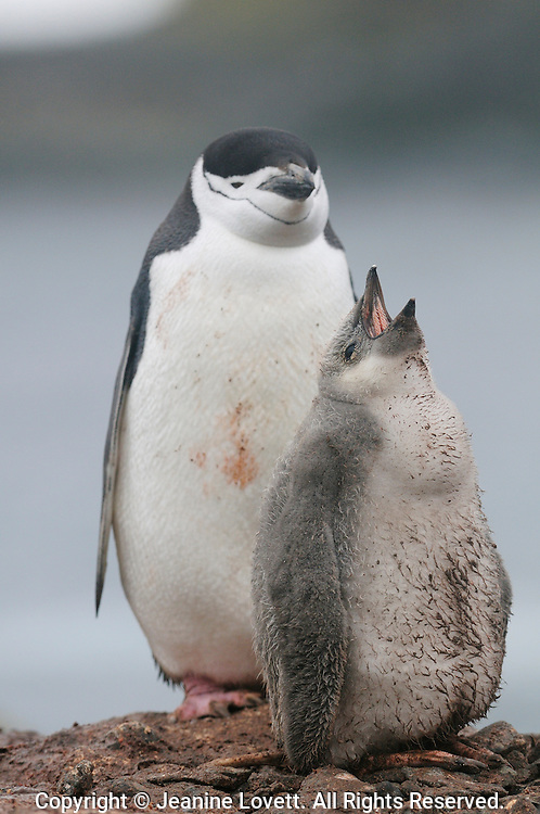 Chinstrap Penguin adult with vocalizing chick.