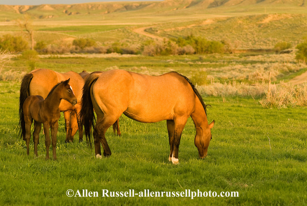 Quarter Horses, Buckskin mare with foal<br /> PROPERTY RELEASED