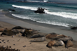 Northern Elephant Seasl (Mirounga angustirostris) lay on a beach near San Simeon, California, United States of America